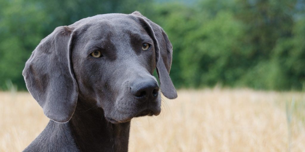 weimaraner hypoallergenic hiking dog