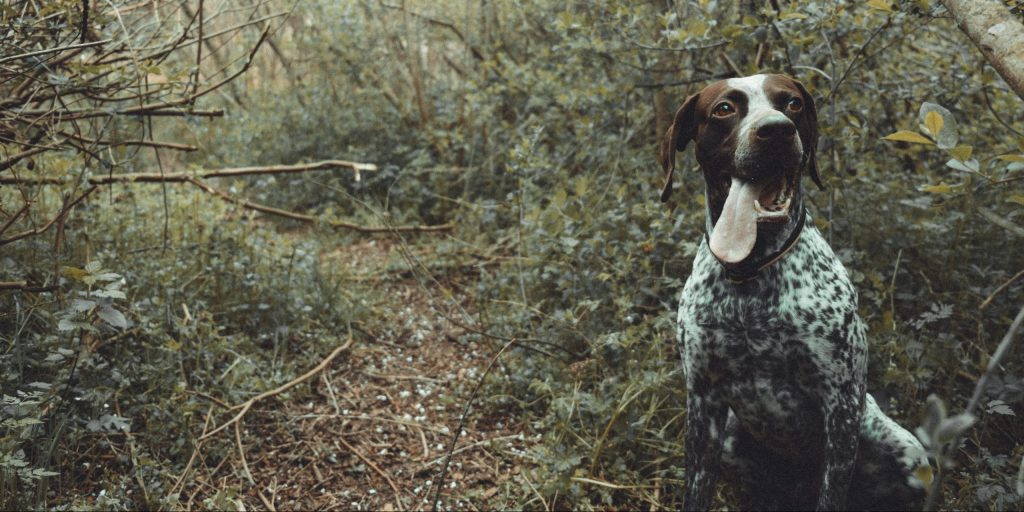 german shorthaired pointer hiking dog no shedding