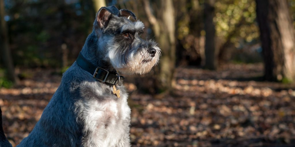 schnauzer hiking dog no shedding